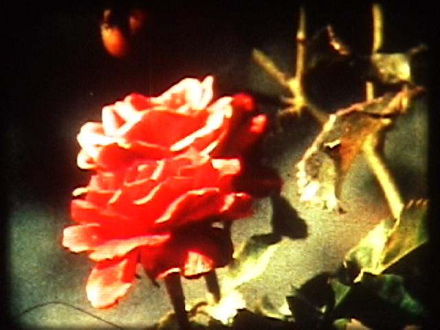 I began to wish-rose